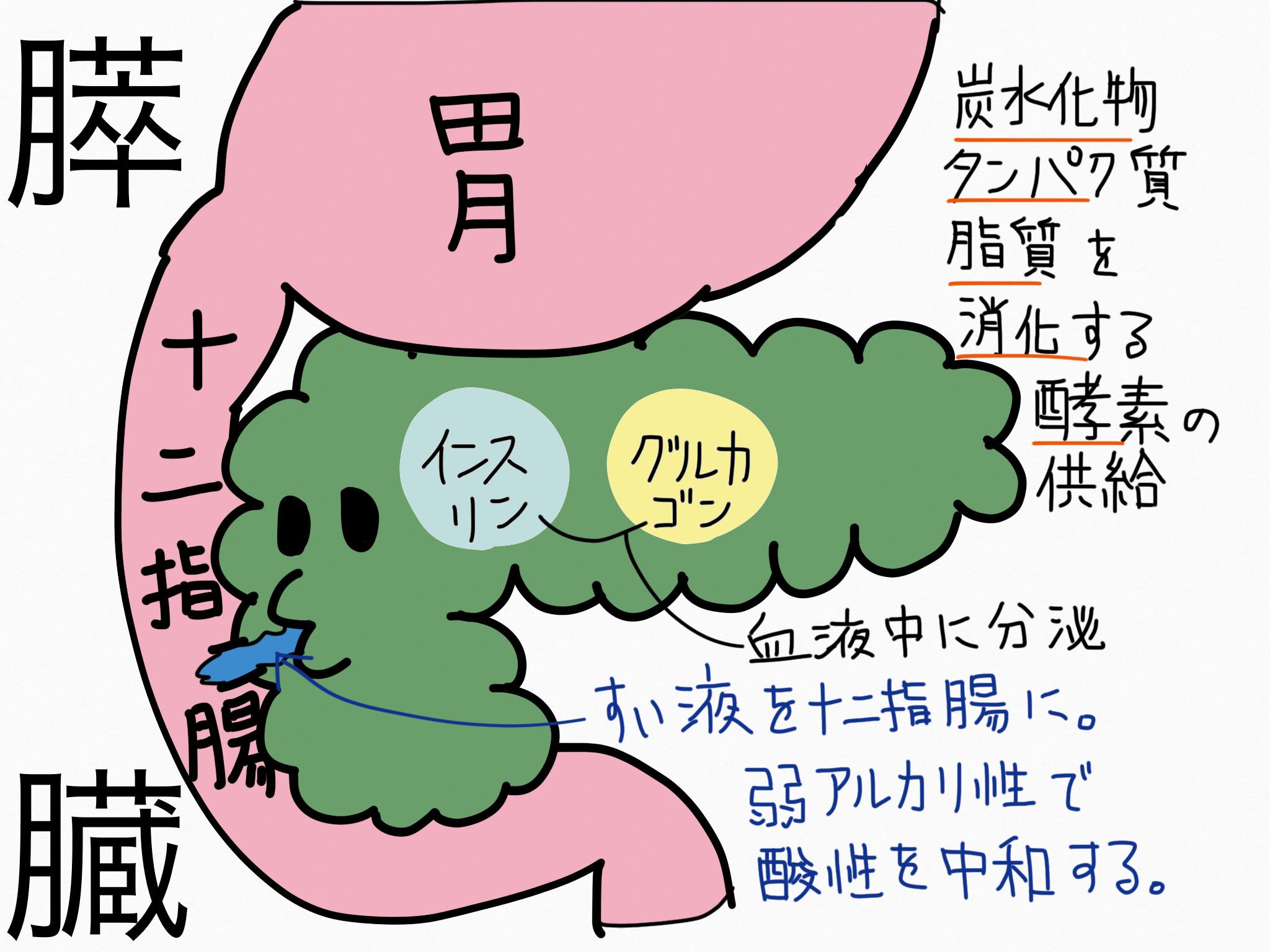 消化器系/膵臓【第2章の覚え方】