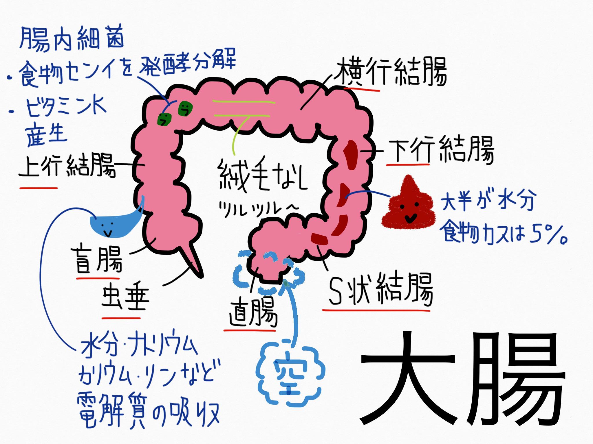 消化器系/大腸【第2章の覚え方】