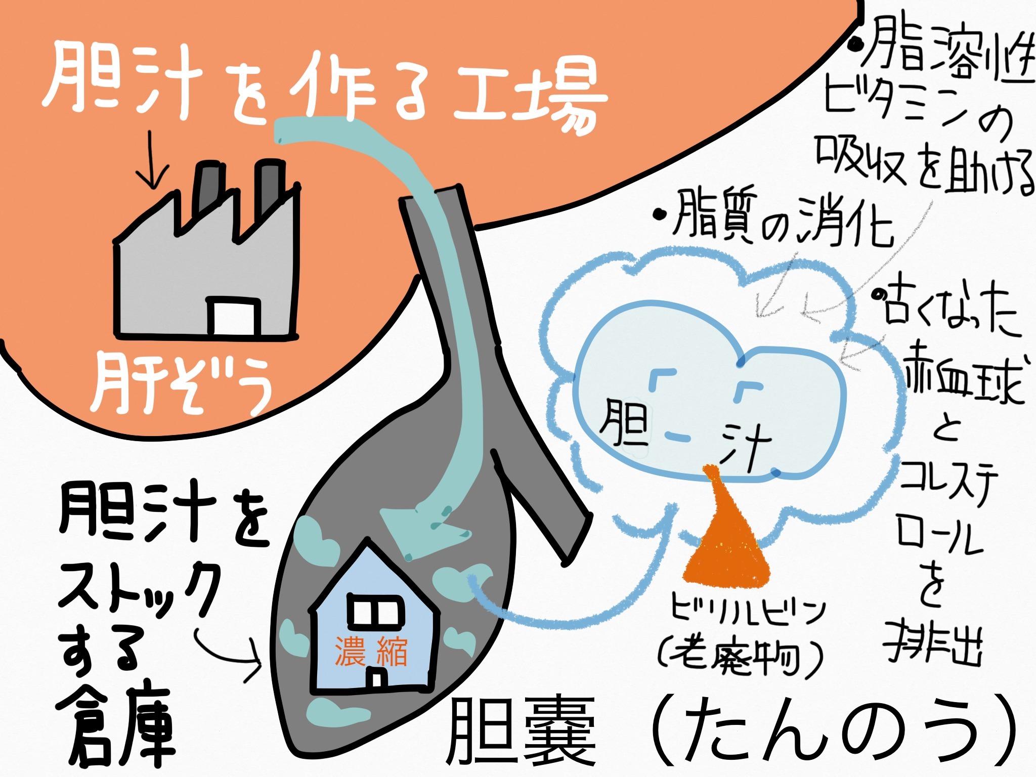 消化器系/胆嚢【第2章の覚え方】