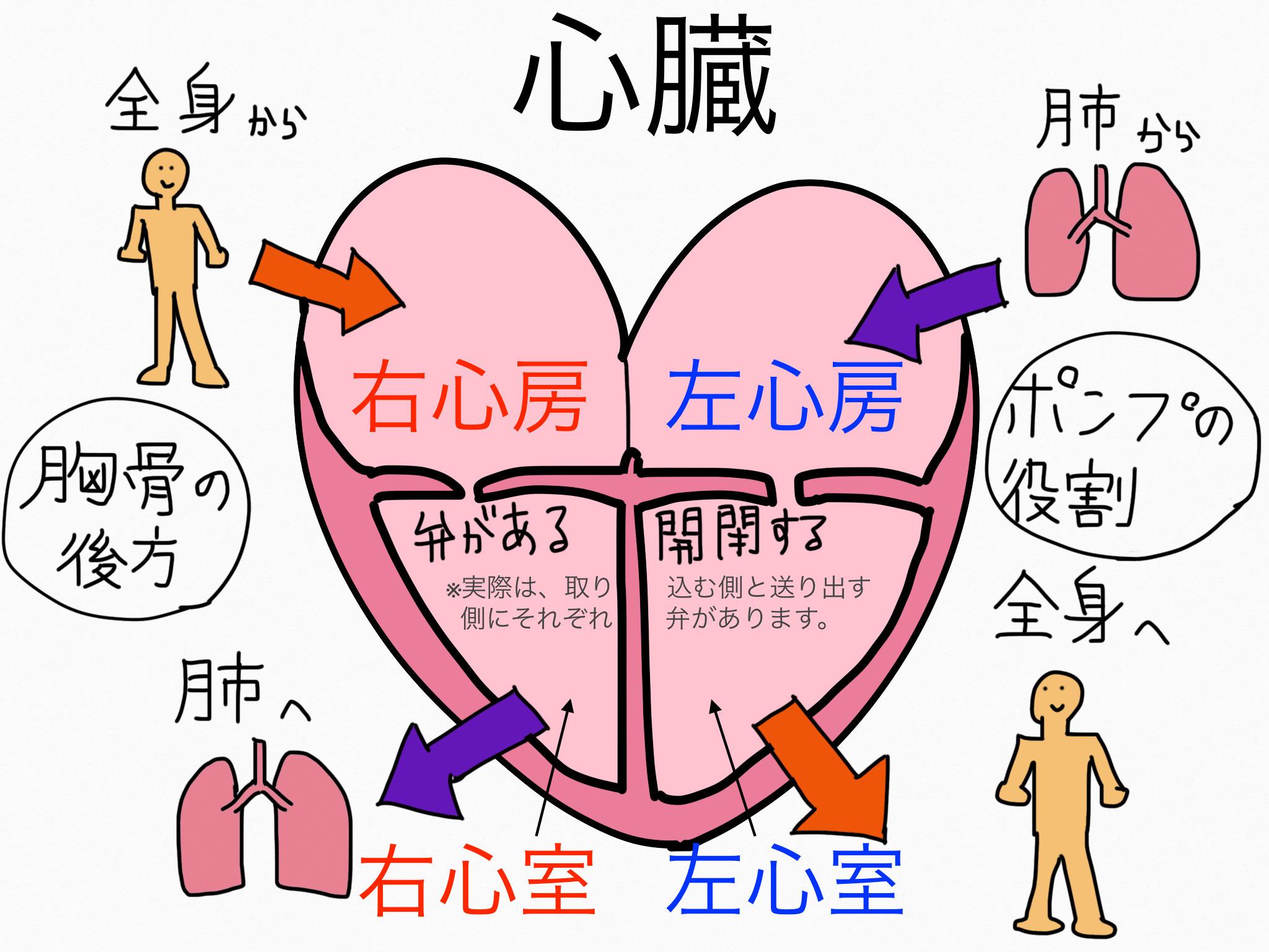 循環器系/心臓【第2章の覚え方】