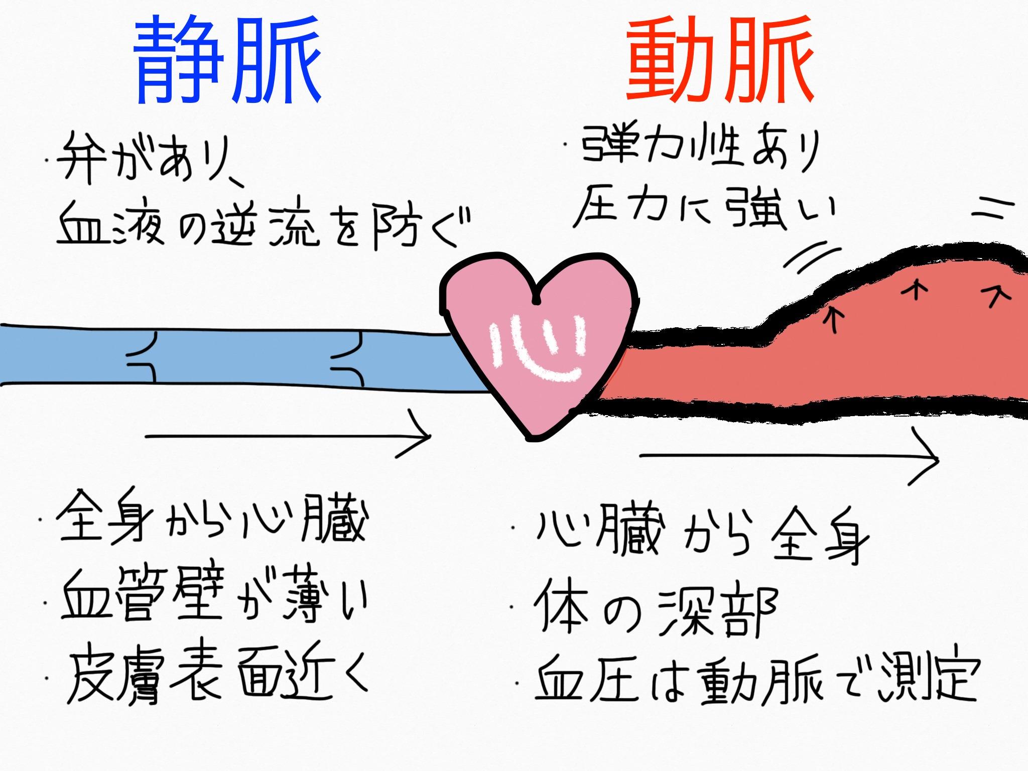 循環器系/血管系(動脈、静脈、毛細血管)【第2章の覚え方】