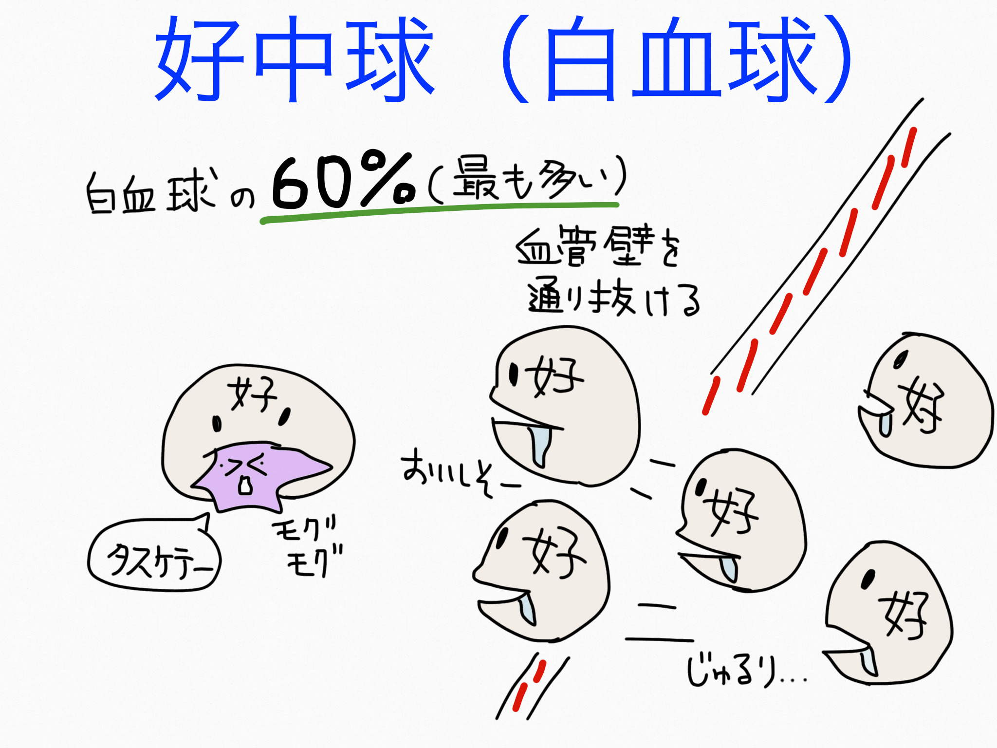 循環器系/白血球(好中球・リンパ球・単球)【第2章の覚え方】