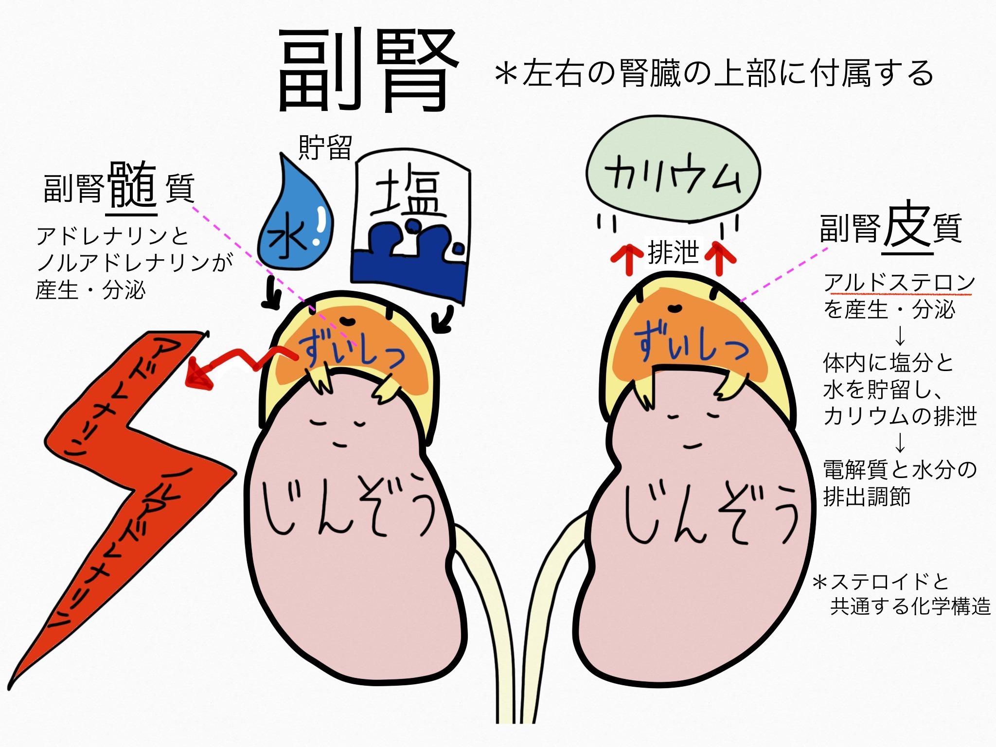 泌尿器系/副腎【第2章の覚え方】