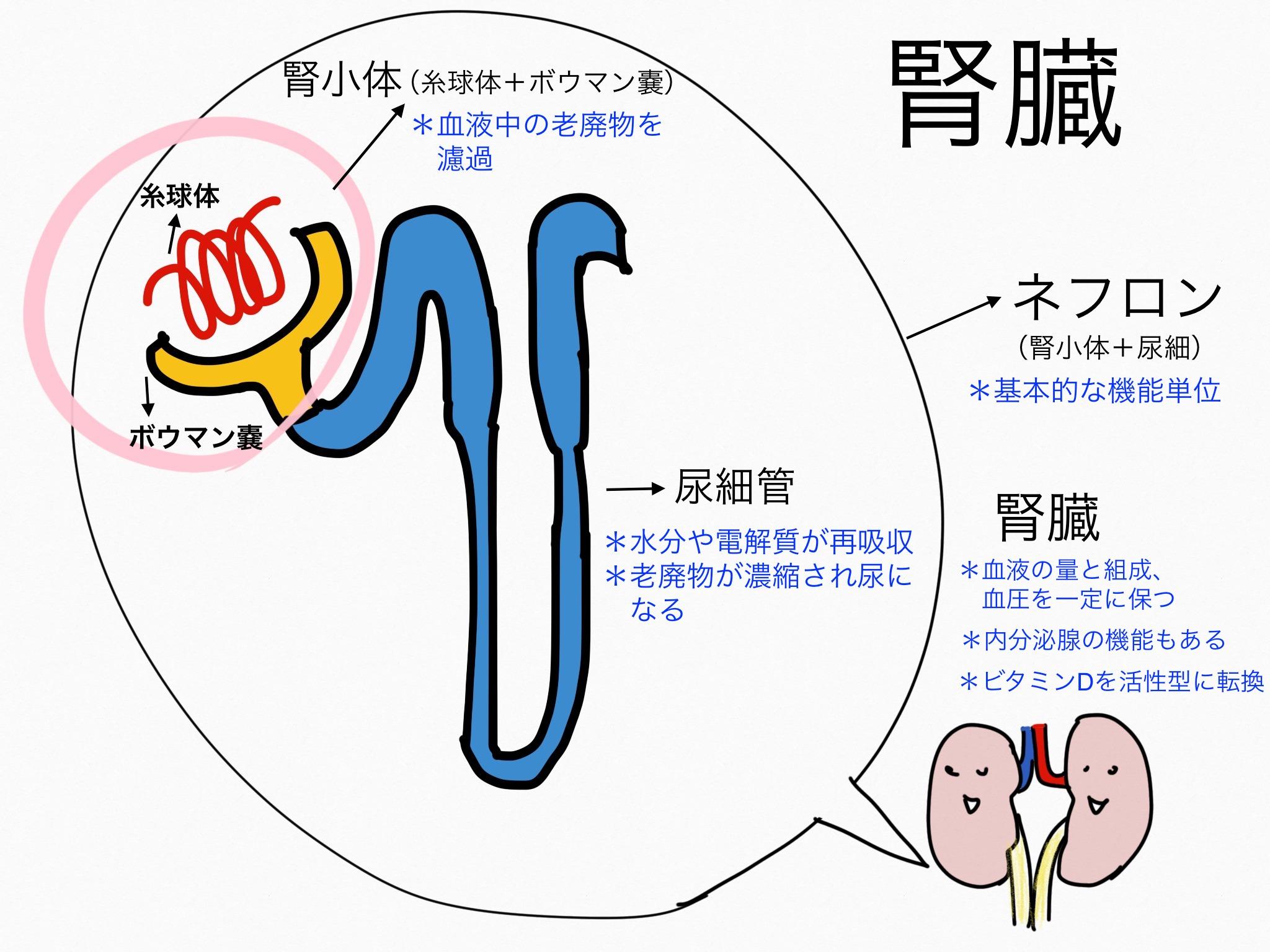 泌尿器系/腎臓【第2章の覚え方】