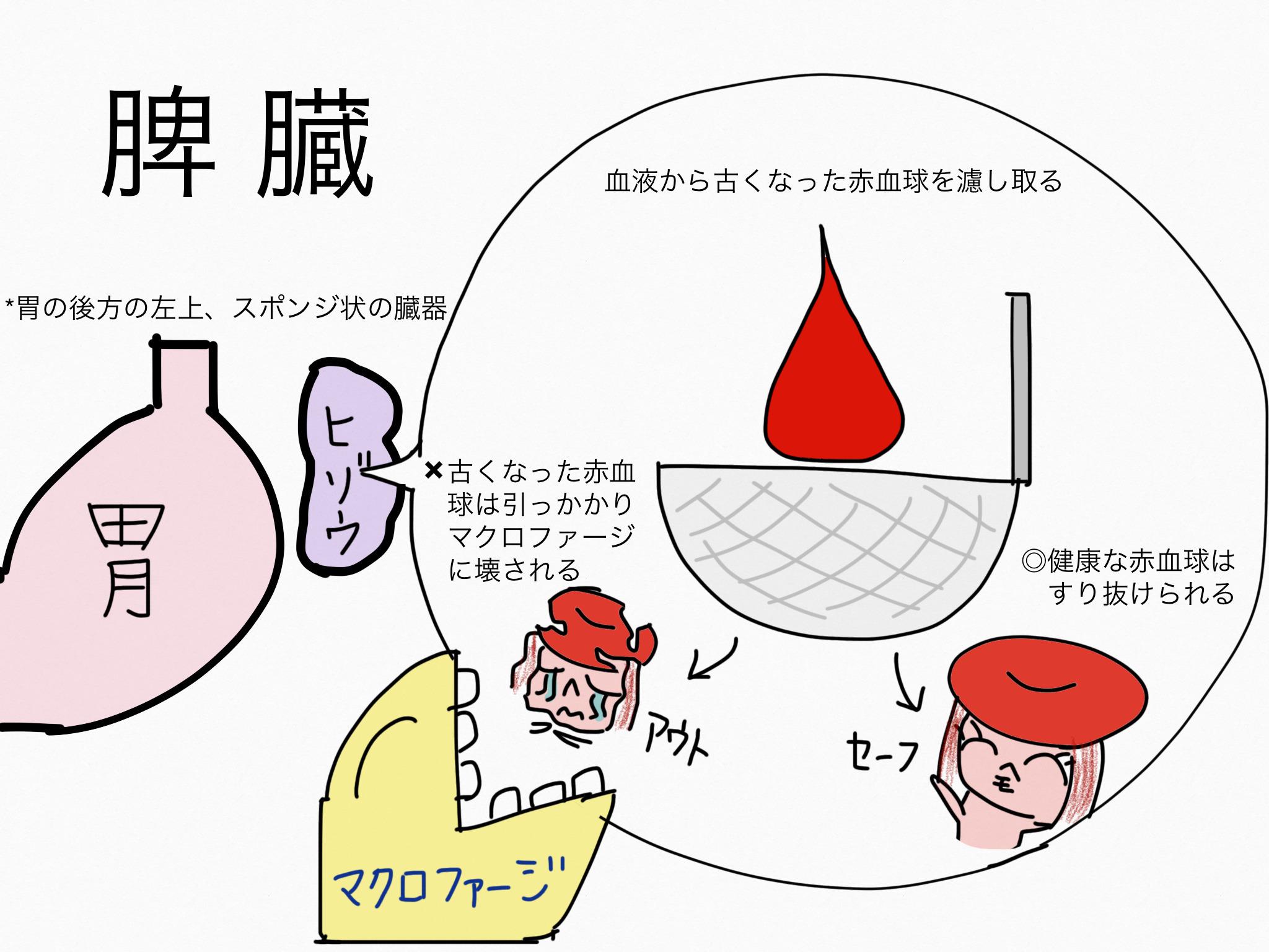 循環器系/脾臓【第2章の覚え方】