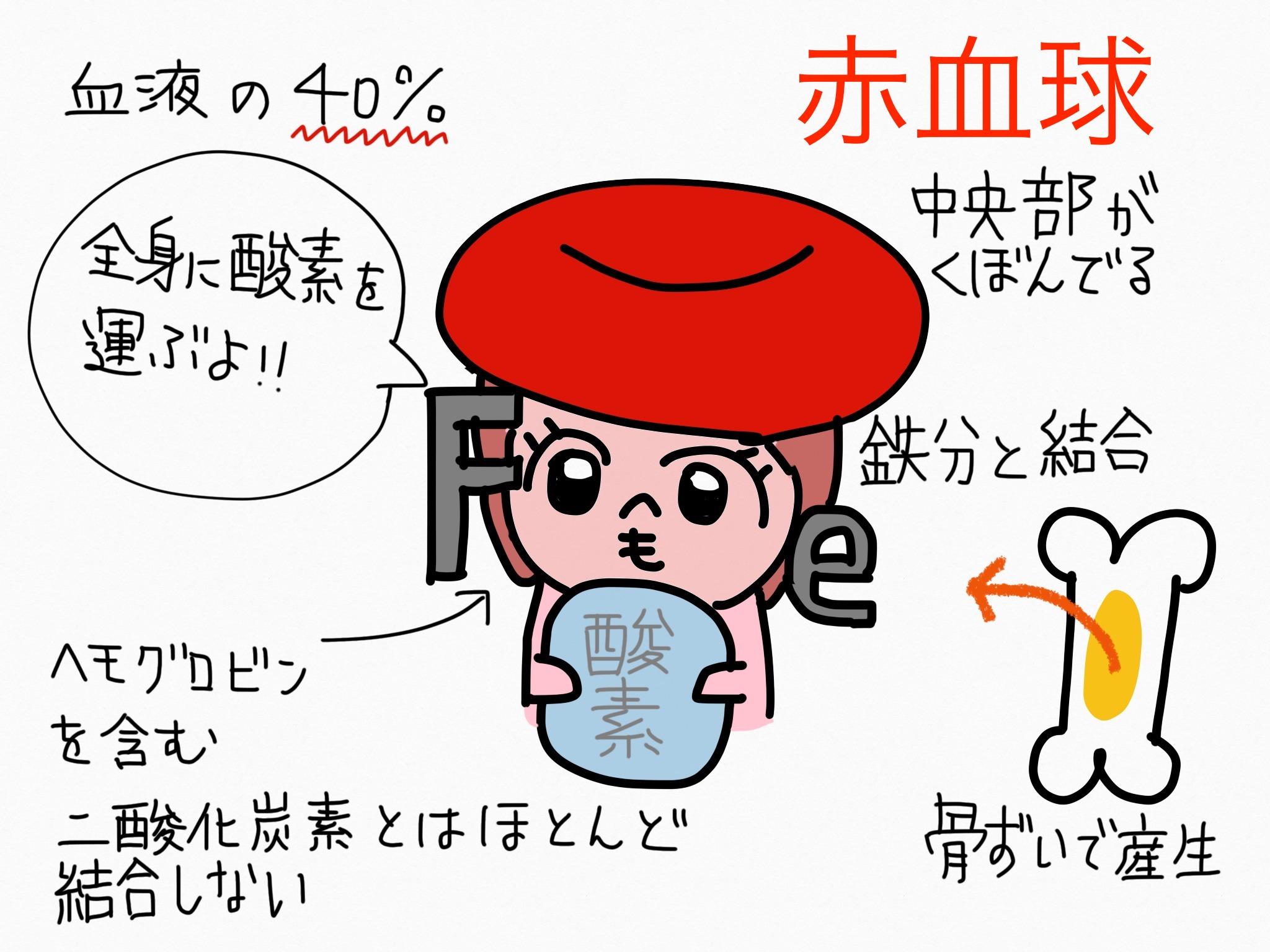 循環器系/赤血球【第2章の覚え方】