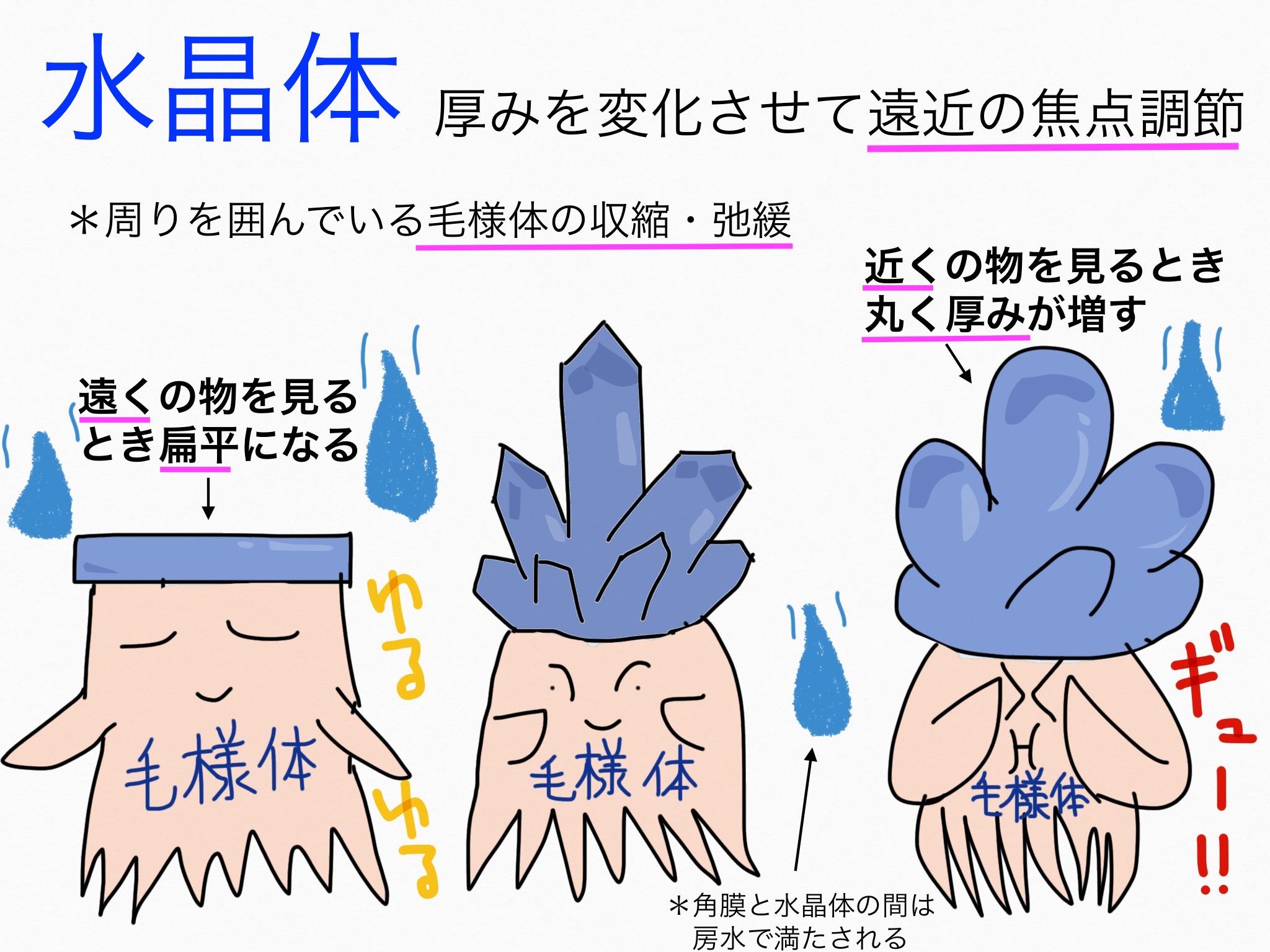 感覚器官/眼球【第2章の覚え方】