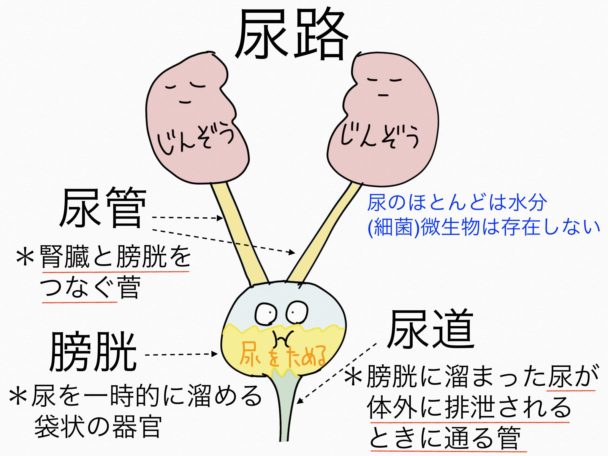 泌尿器系/尿路(尿管、膀胱、尿道)【第2章の覚え方】