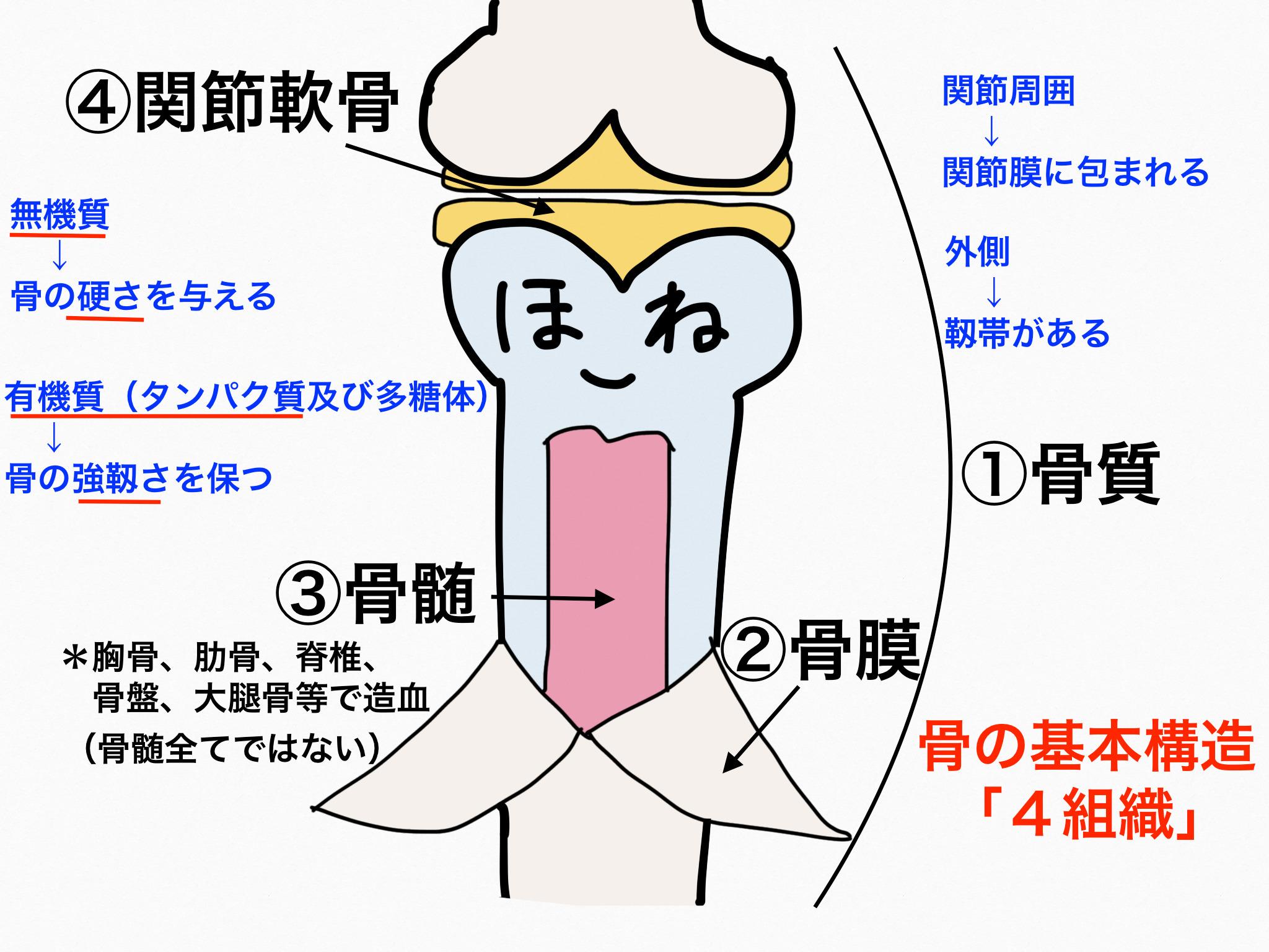 運動器官/骨格系【第2章の覚え方】