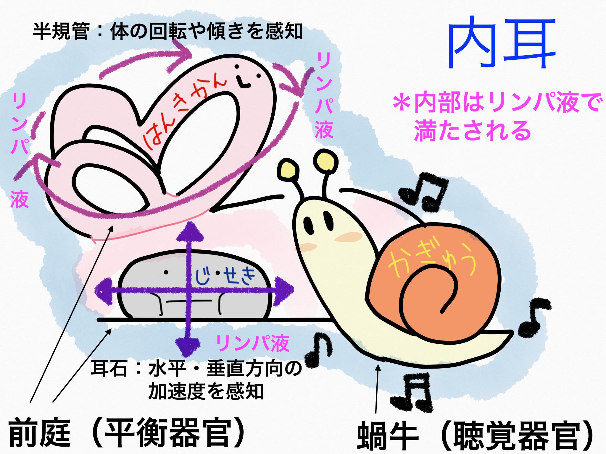 感覚器官/外耳、中耳、内耳【第2章の覚え方】
