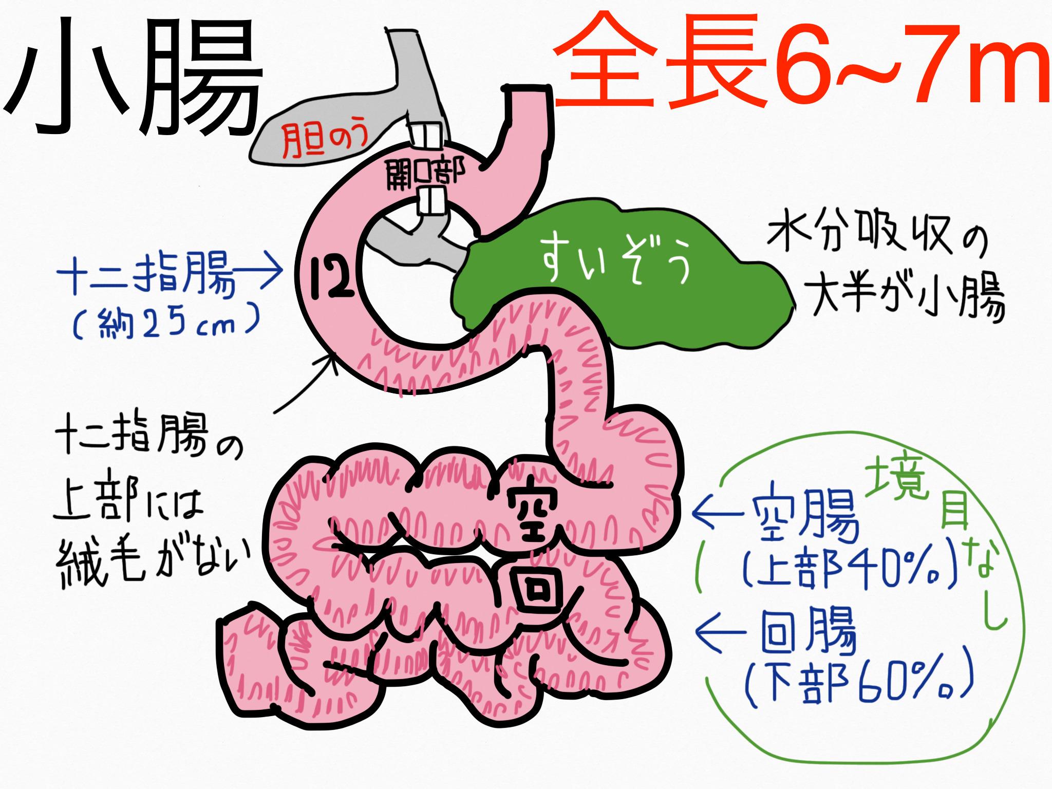 消化器系/小腸【第2章の覚え方】