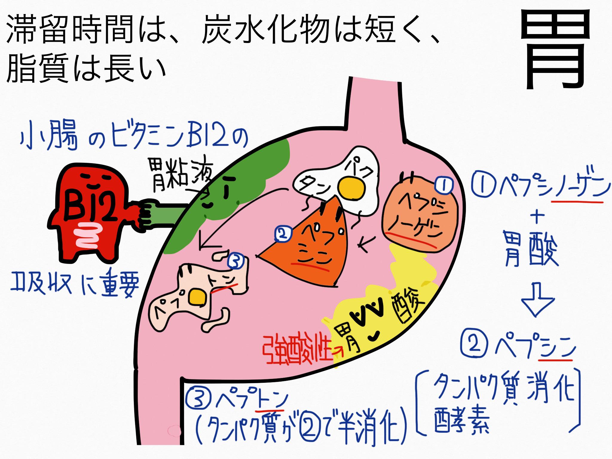 消化器系/胃【第2章の覚え方】
