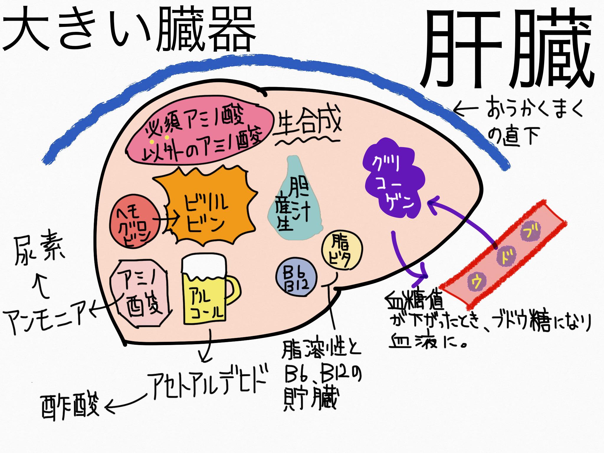 消化器系/肝臓【第2章の覚え方】