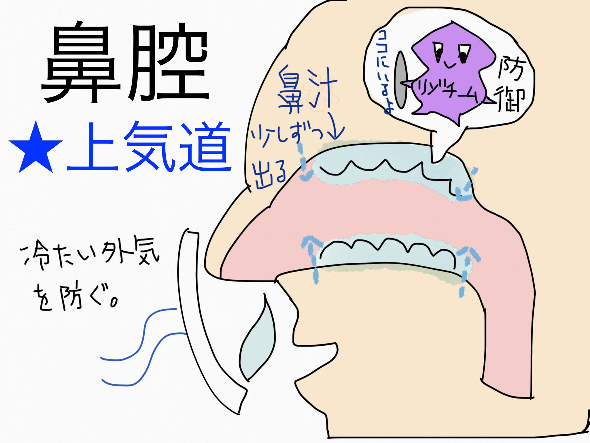 呼吸器系/鼻腔【第2章の覚え方】