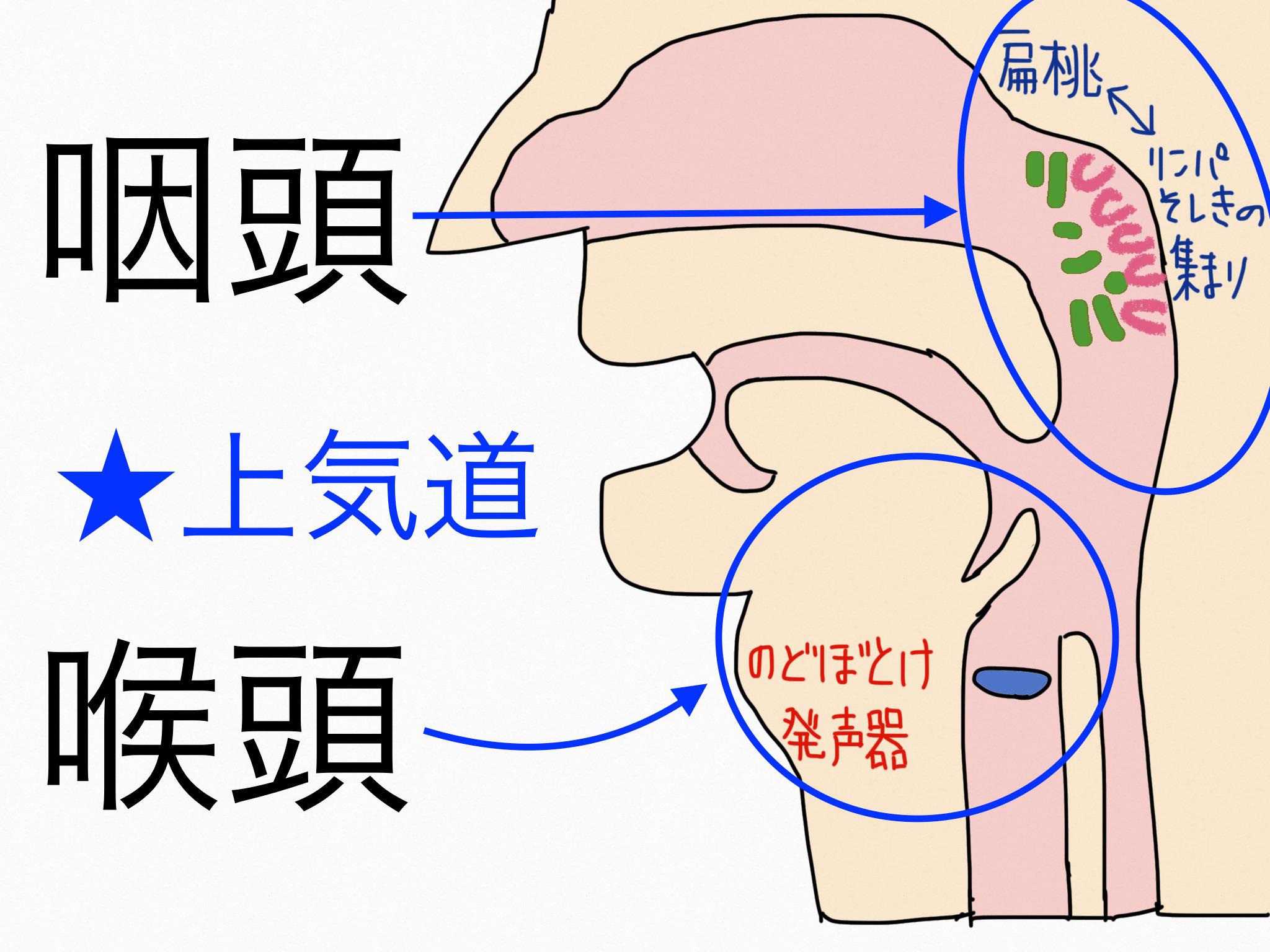 呼吸器系/咽頭・喉頭【第2章の覚え方】