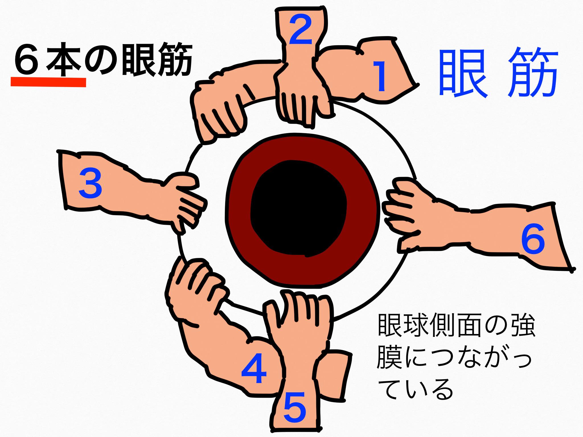 感覚器官/眼瞼、結膜、涙器、眼筋【第2章の覚え方】