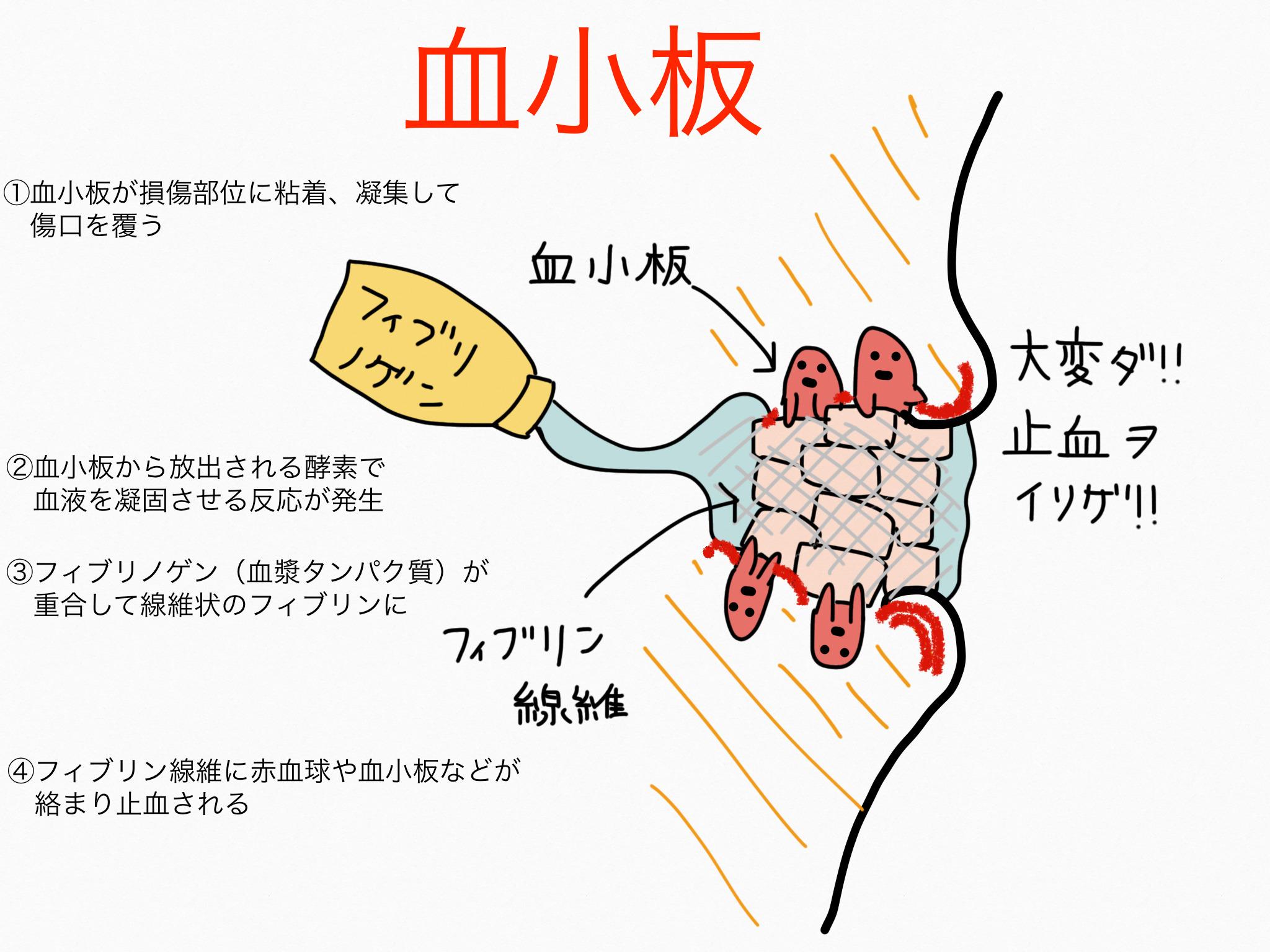 循環器系/血小板【第2章の覚え方】