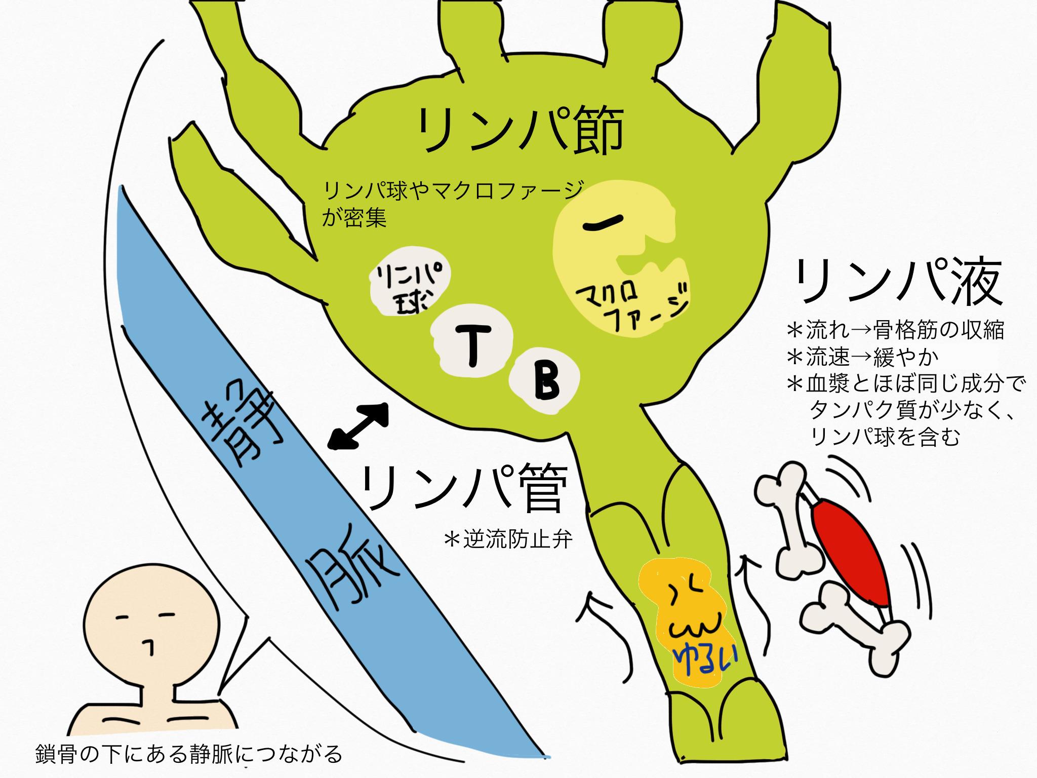 循環器系/リンパ系(リンパ液、リンパ管、リンパ節)【第2章の覚え方】