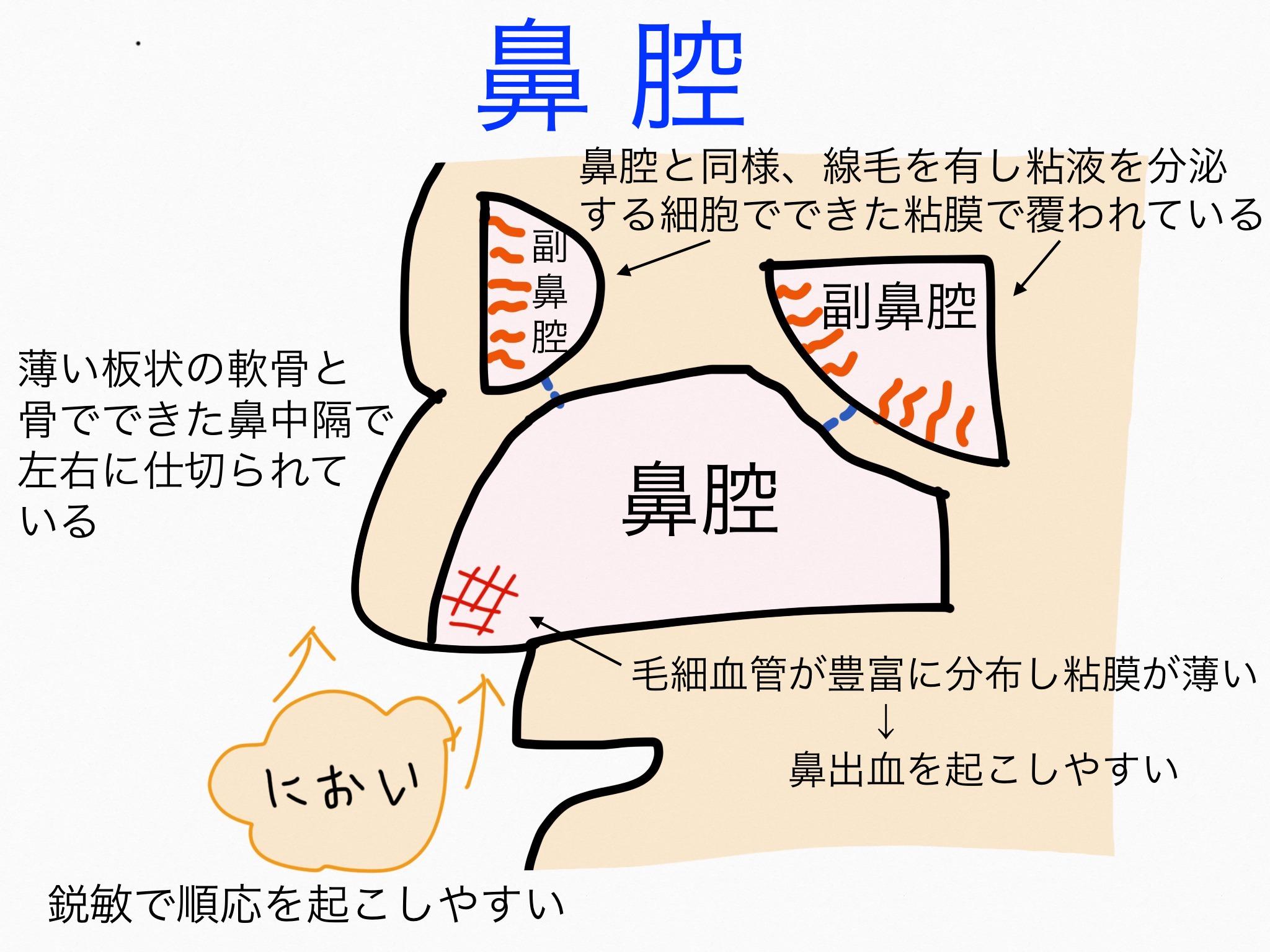 感覚器官/鼻腔、副鼻腔【第2章の覚え方】