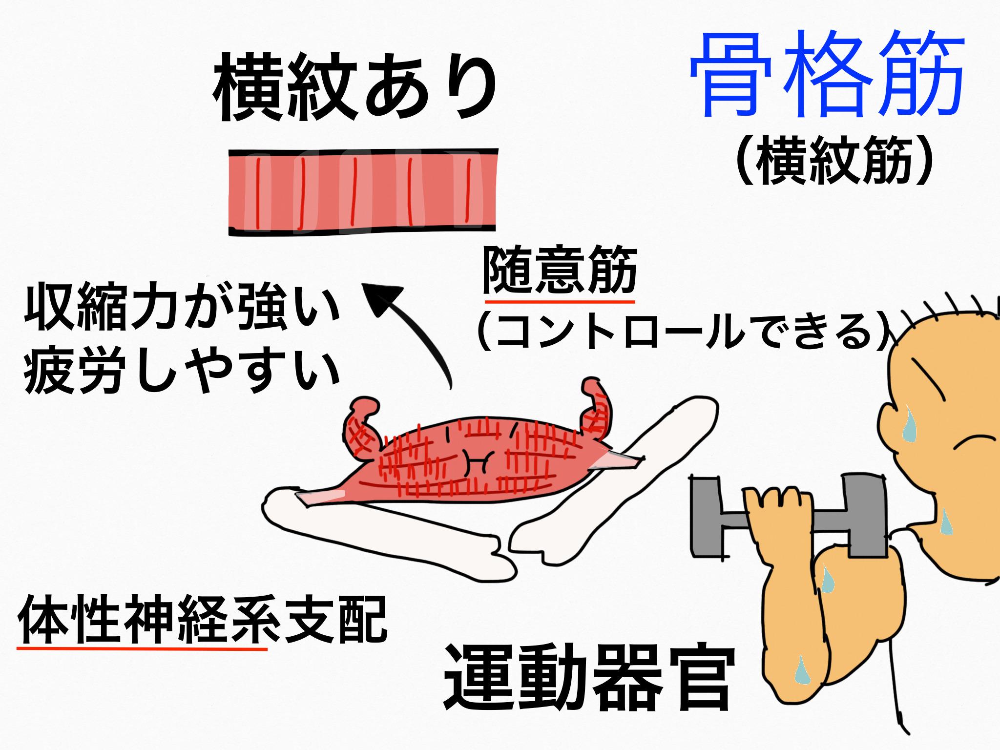 運動器官/筋組織【第2章の覚え方】